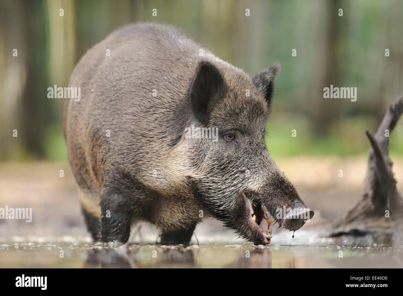 wild boar [Sus scrofa] wild hog Wildschwein eber germany - Stock Image