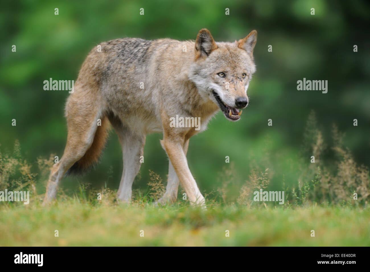 Eurasian wolf [Canis lupus lupus] - Stock Image