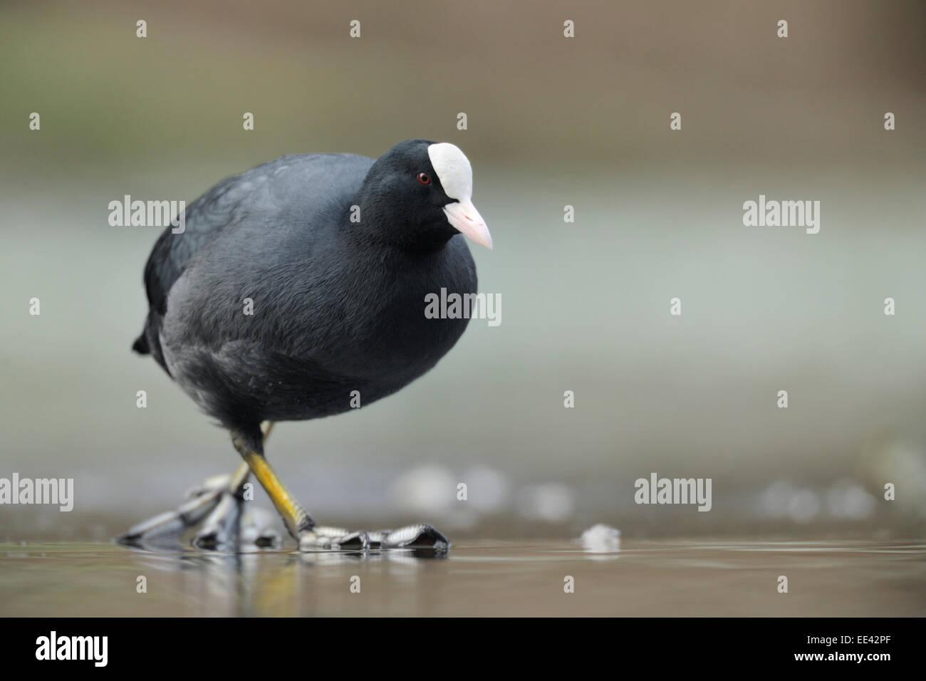 (Eurasian) black coot [Fulica atra], blaesshuhn, germany - Stock Image
