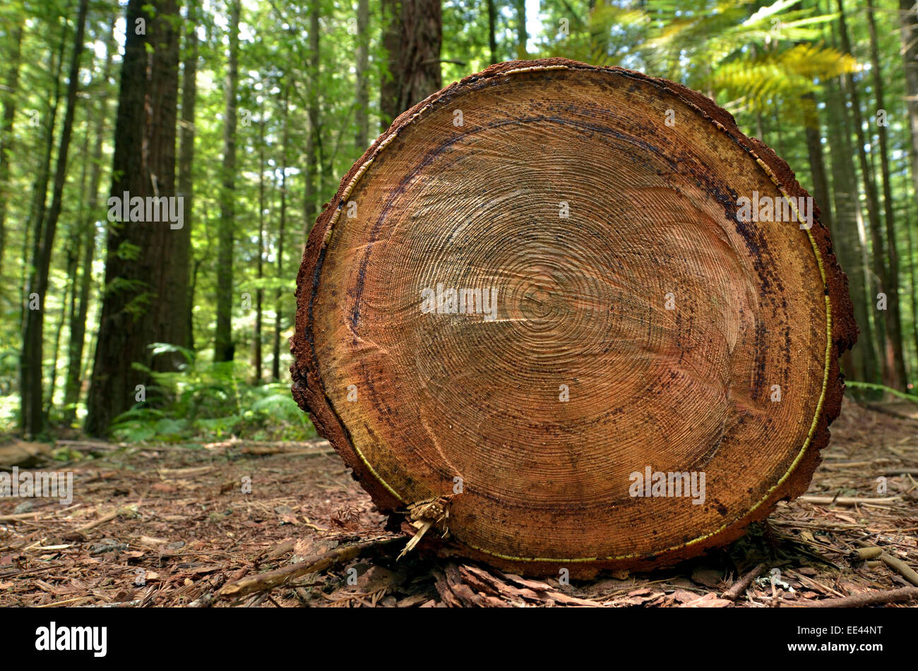 Chopped tree log lies on the ground in Redwoods – Whakarewarewa Forest in Rotorua, New Zealand. - Stock Image