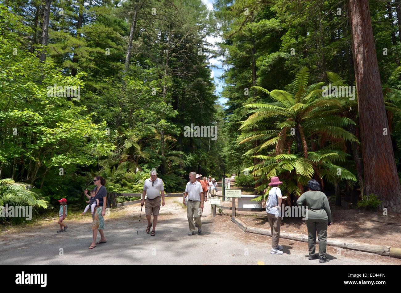 ROTORUA, NZL - JAN 12 2015:Visitors in Redwoods – Whakarewarewa Forest in Rotorua, New Zealand.It's an exsotic - Stock Image