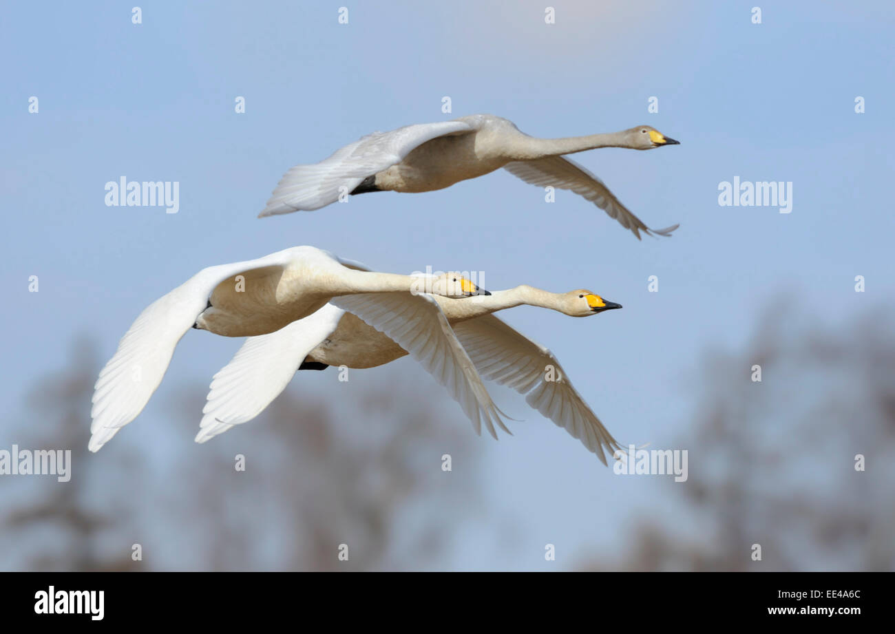 whooper swan [Cygnus cygnus] Singschwan Stock Photo
