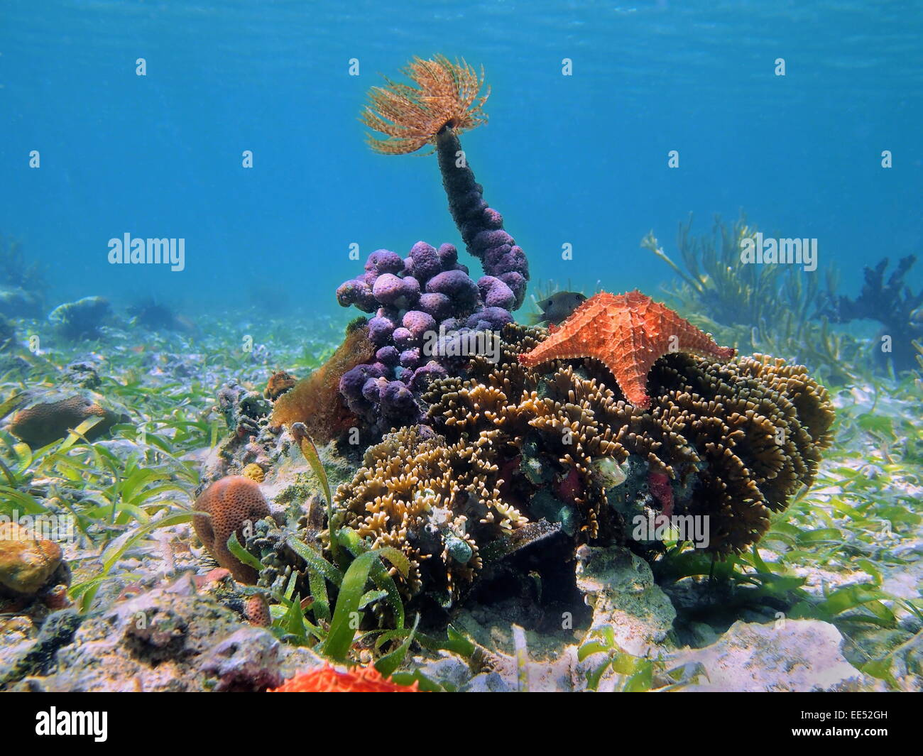 Colorful tropical sea life underwater with a tube worm on top of sponges, and a starfish over coral, Caribbean Stock Photo