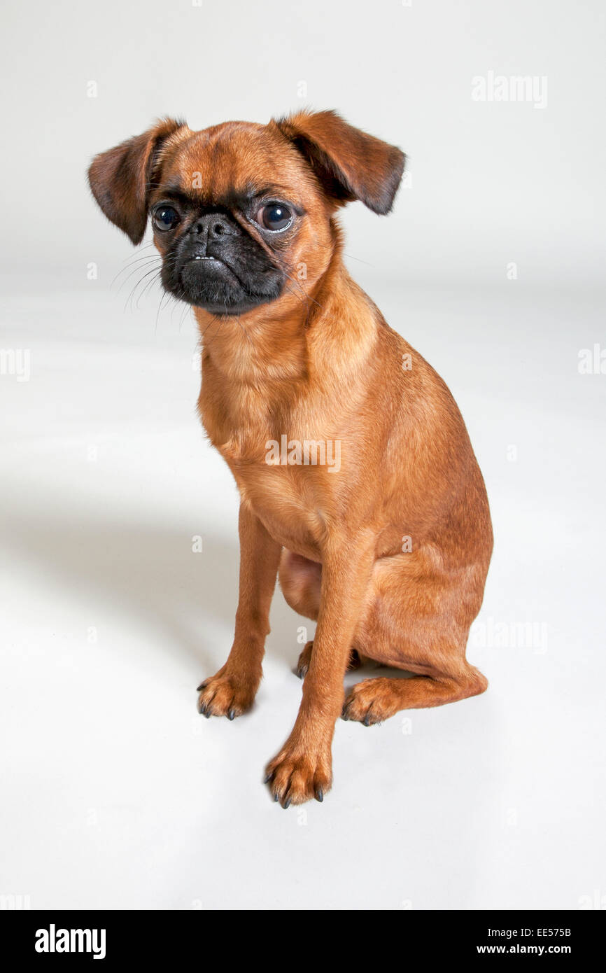 Brussels griffon sitting on white sweep background - Stock Image
