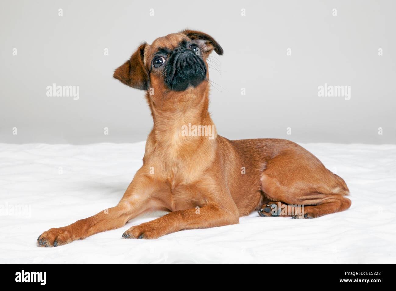 Brussels griffon on white shag carpet - Stock Image