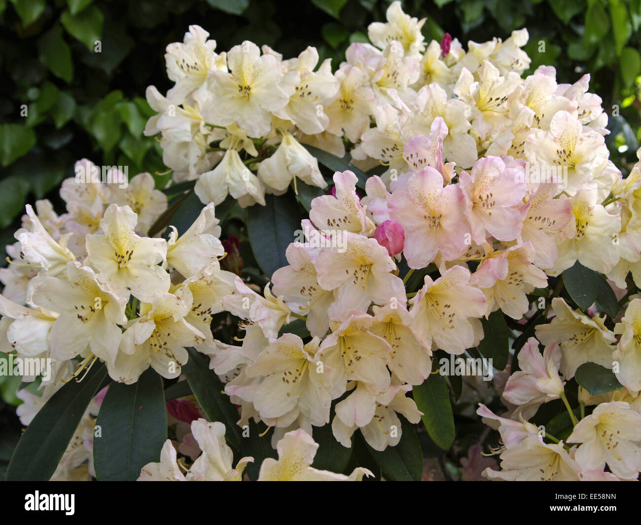 Rhododendron, Rhododendron catawbiense, Detail, Blueten, rosa, Natur, Botanik, Flora, Pflanze, bluehen, Giftpflanze, - Stock Image