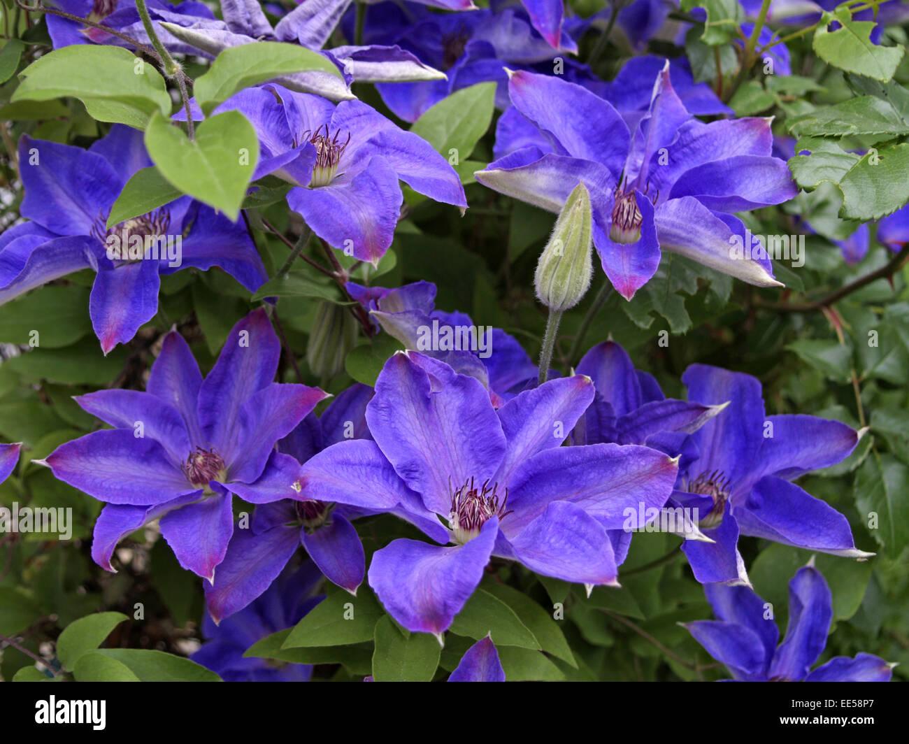 Kletterpflanze, Clematis, Blueten, violett, Natur, Vegetation, Botanik, Pflanzenwelt, Pflanze, Blume, bluehen, lila, - Stock Image