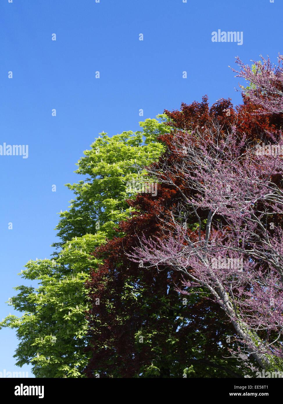 bluehender Baum im Fruehling, Baumbluete, farbig, bunt, rosa, rot, blauer Himmel, gruene Blaetter - Stock Image
