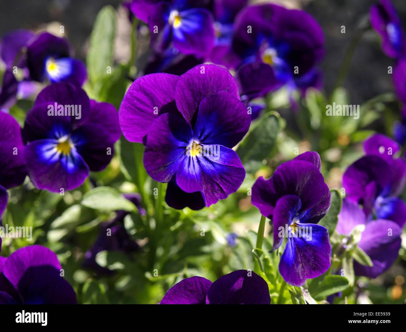 Stiefmuetterchen, Viola spec, Blueten, lila, Zierpflanzen, Wildpflanzen, Pflanzen, Blumen, Zierblumen, Veilchengewaechse, - Stock Image