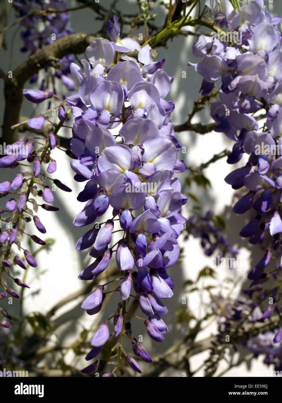 strauch japanischer blauregen wisteria floribunda stock photos strauch japanischer blauregen. Black Bedroom Furniture Sets. Home Design Ideas
