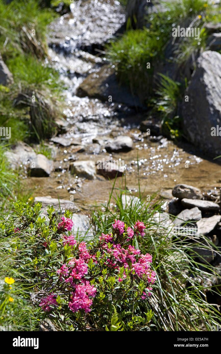 Bach, Wasser, Natur, rein, sauber, klar, frisch, Steine, fliessen, Blumen, Almrosen, Alpenrosen - Stock Image