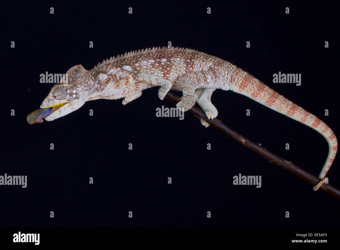shooting chameleon / Furcifer oustaleti - Stock Image