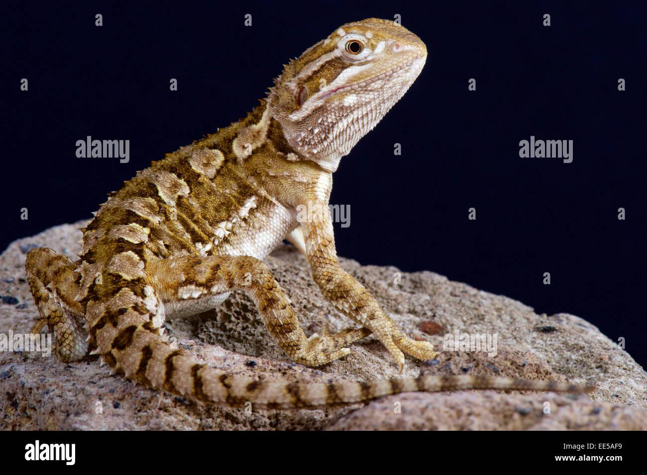 Dwarf bearded dragon / Pogona henrylawsoni - Stock Image