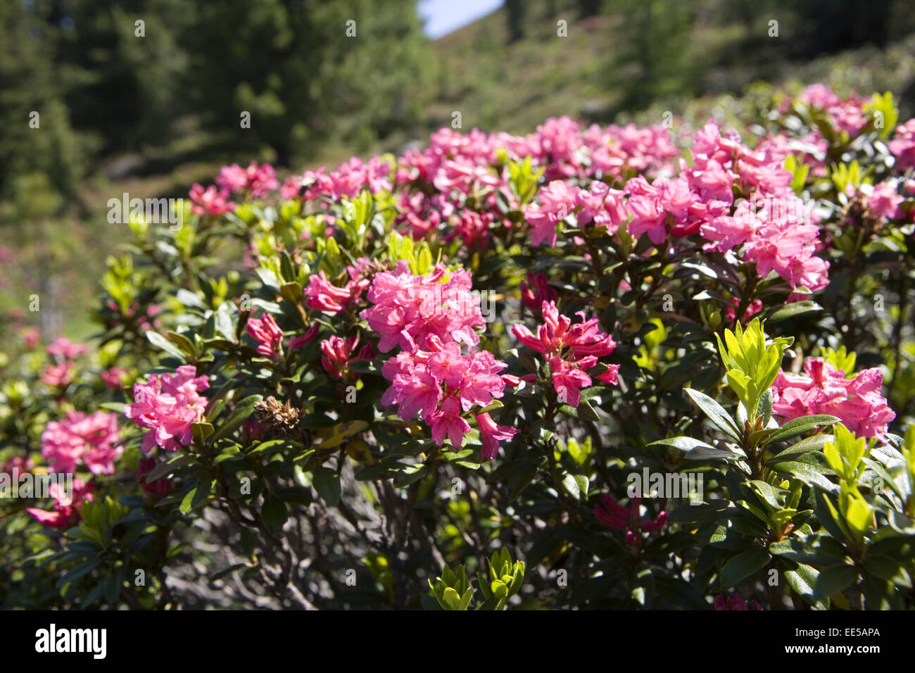 Alpenrose, Rhododendron, close-up, Natur, Vegetation, Botanik, Bergregion, Alpenblume, Blume, Stiel, Bluete, rosa, - Stock Image