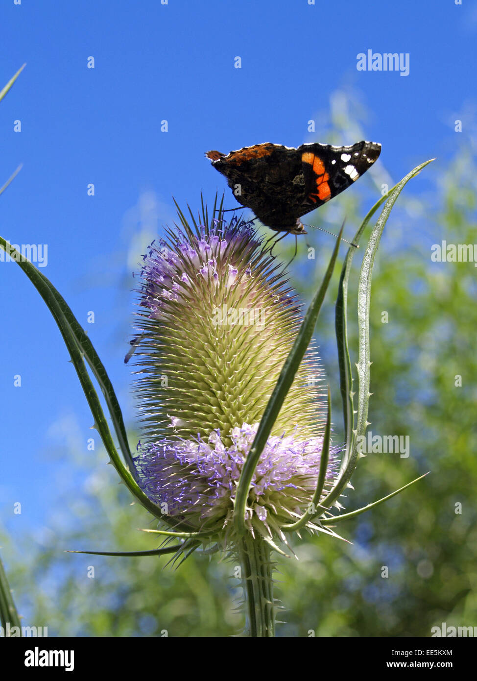Aussenaufnahme, Distel, Distelfalter, Falter, Insekt, Insekten, Makro, Makros, Nahaufnahme, Nahaufnahmen, Natur, - Stock Image