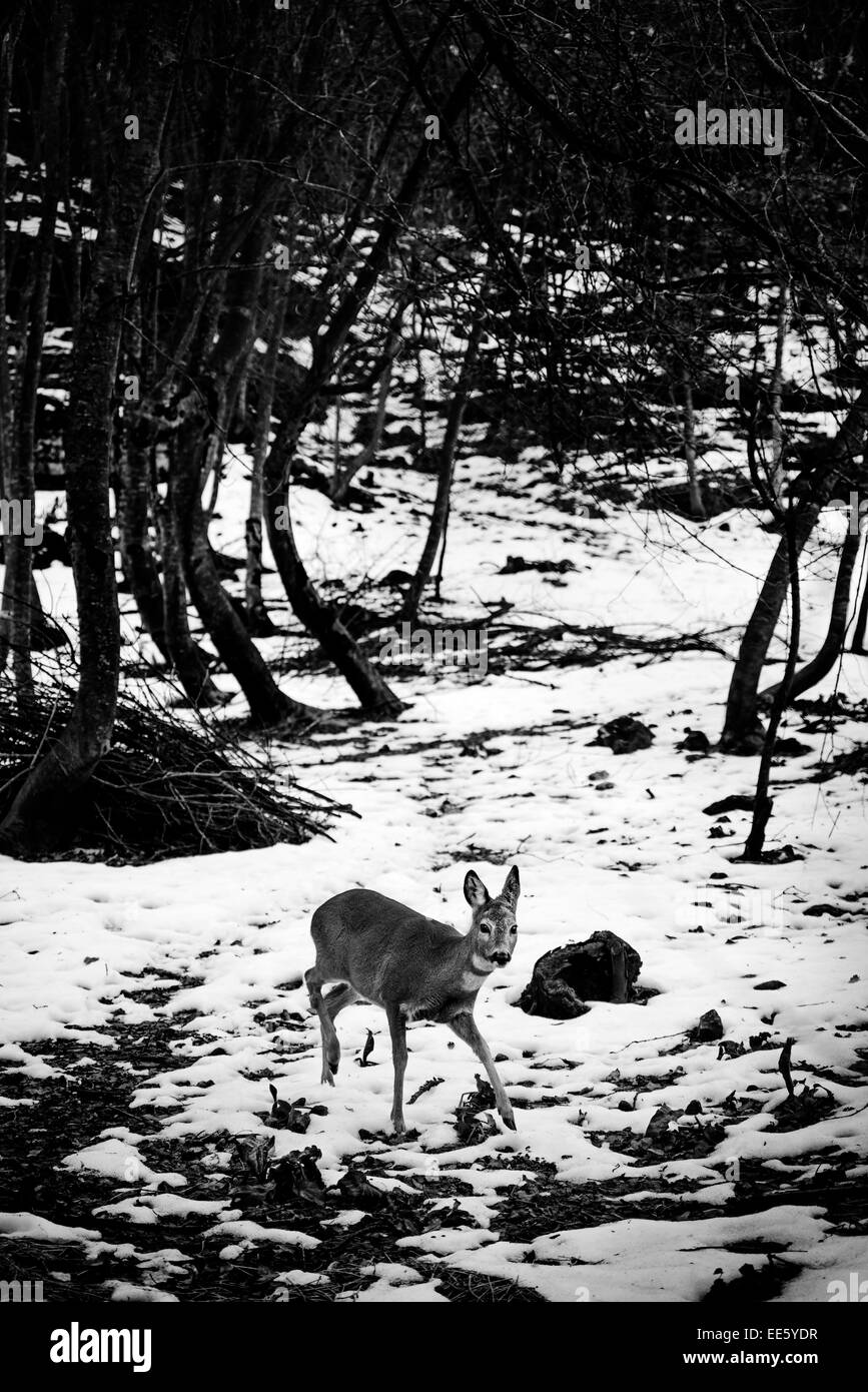 Roe Deer running on snow in a forest - Stock Image