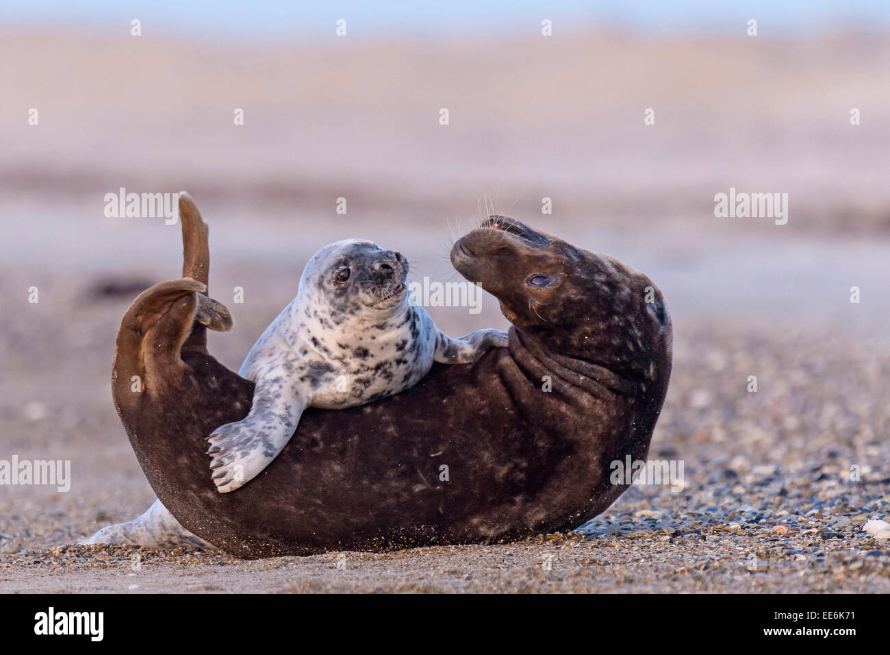 gray seal with young [Halichoerus grypus], Kegelrobben, Germany Stock Photo