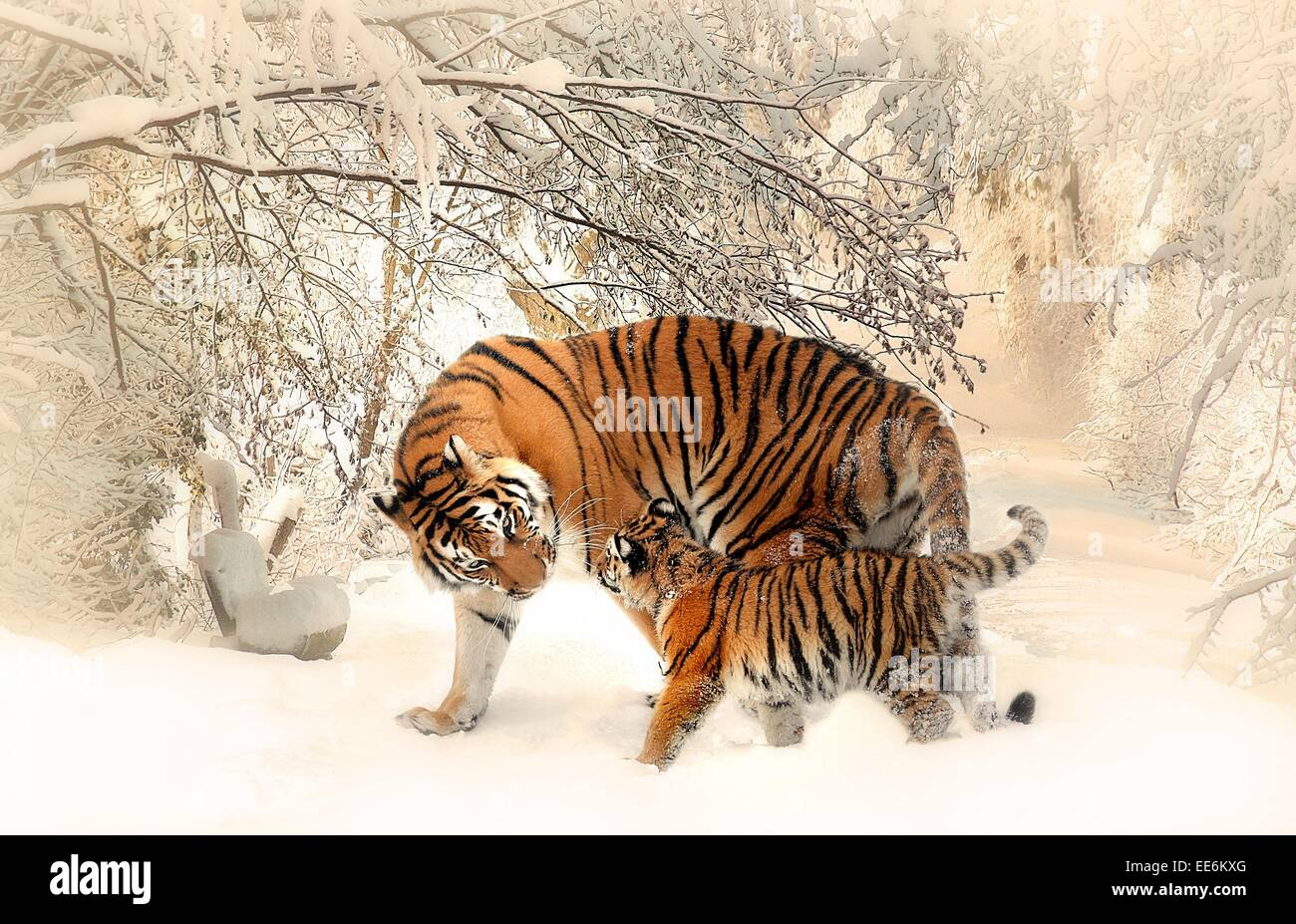 Tigers in snow - Stock Image