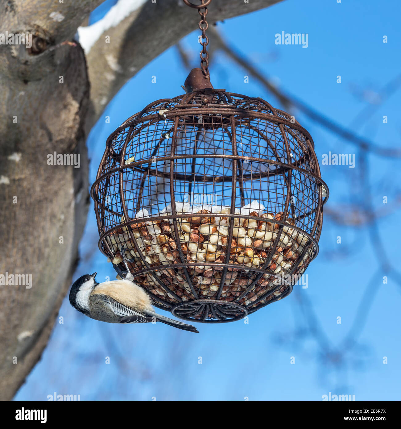 A  black-capped chickadee (Poecile atricapillus) hanging from a round wire bird feeder filled with peanuts. - Stock Image