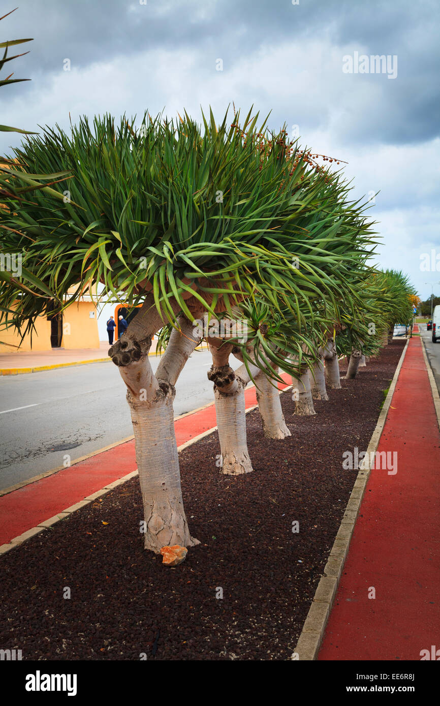 Narrow leaf Yucca aloifolia Spanish bayonet forming central reservation to seafront road in Spain - Stock Image