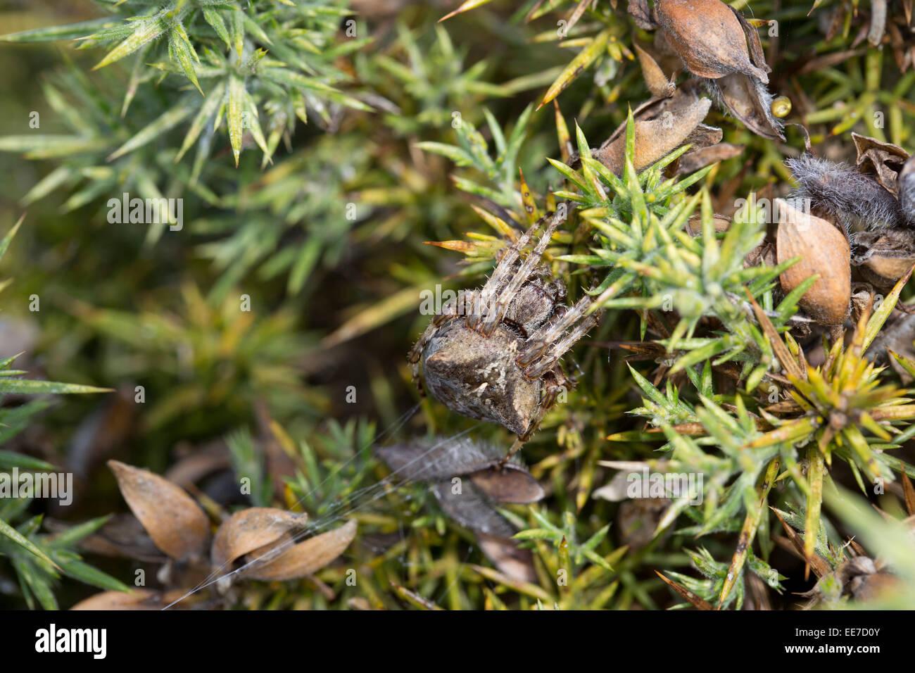 Angular Orb Weaving Spider; Araneus angulatus; Cornwall; UK - Stock Image