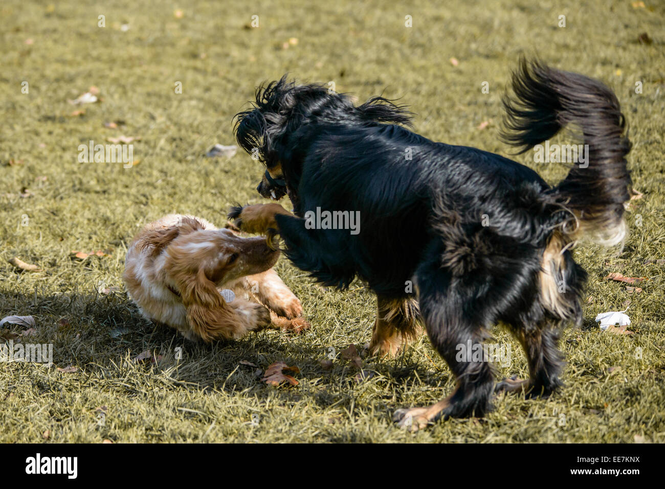 Saluki Collie Cross playing with Working Cocker Spaniel