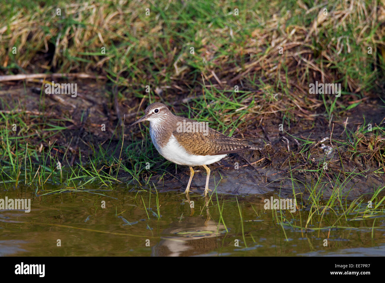 Common sandpiper (Actitis hypoleucos) foraging along riverbank - Stock Image