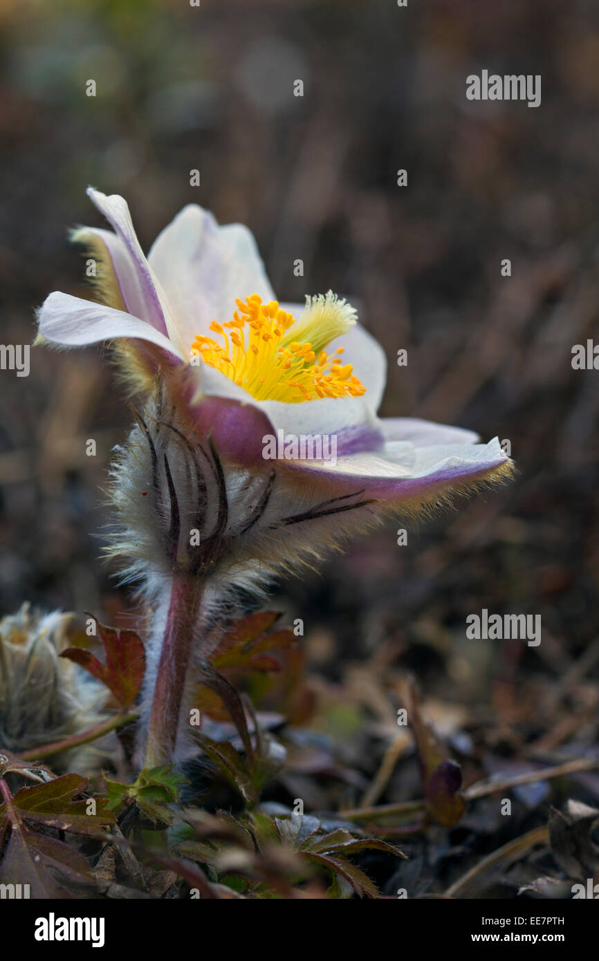 Spring pasqueflower / arctic violet / lady of the snows / spring anemone (Pulsatilla vernalis) in flower in spring - Stock Image