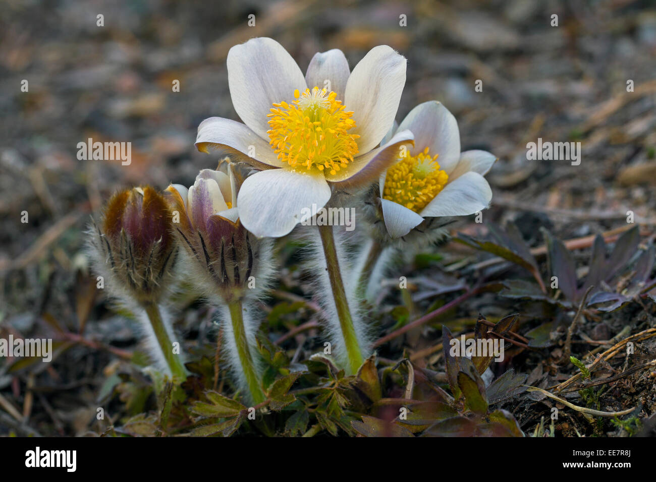 Spring pasqueflowers / arctic violets / lady of the snows / spring anemones (Pulsatilla vernalis) in flower in spring - Stock Image