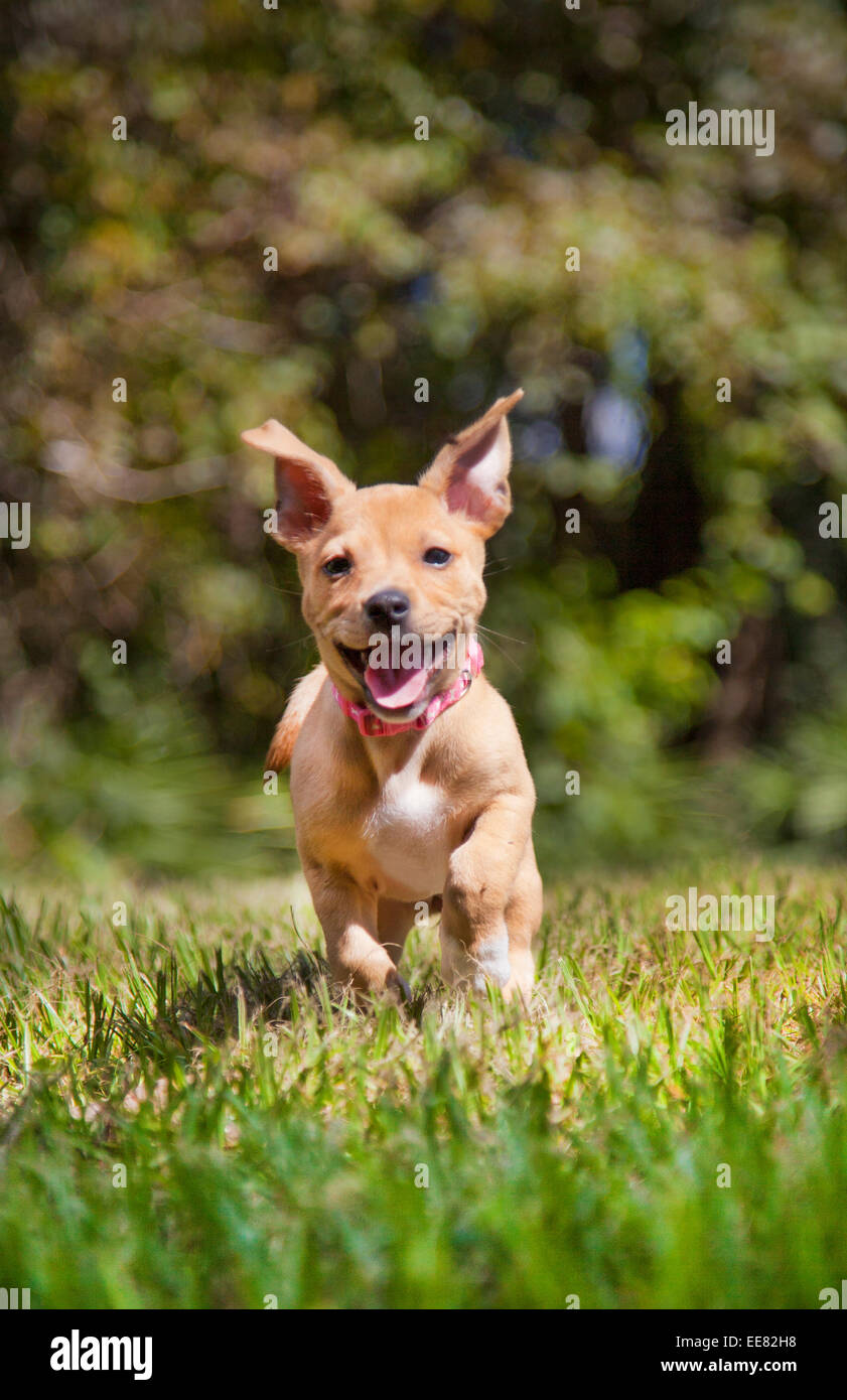 mixed breed young puppy dog running and playing in the grass outside - Stock Image
