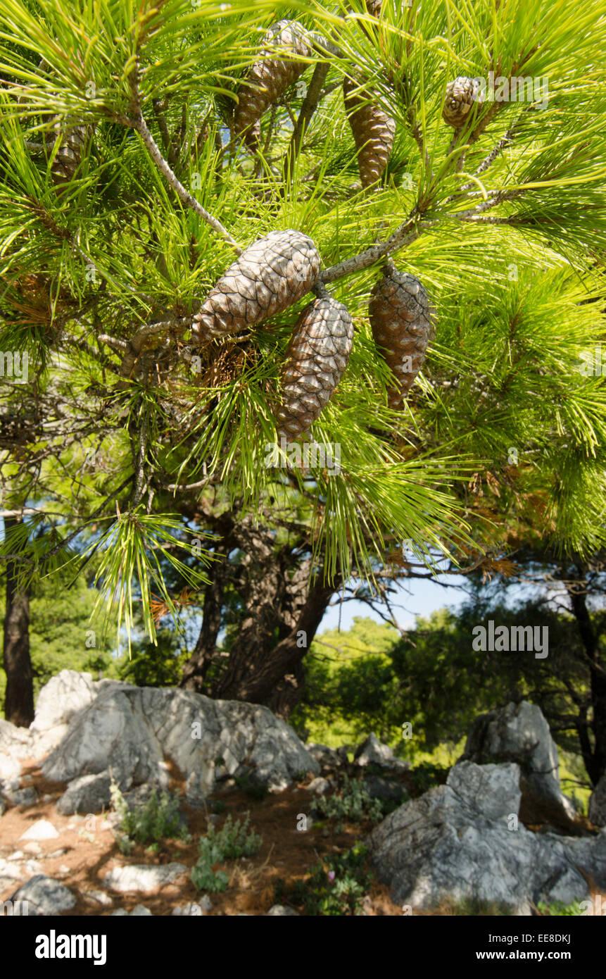 Cones of Aleppo pine [Pinus halepensis] Skopelos Greek island. October - Stock Image