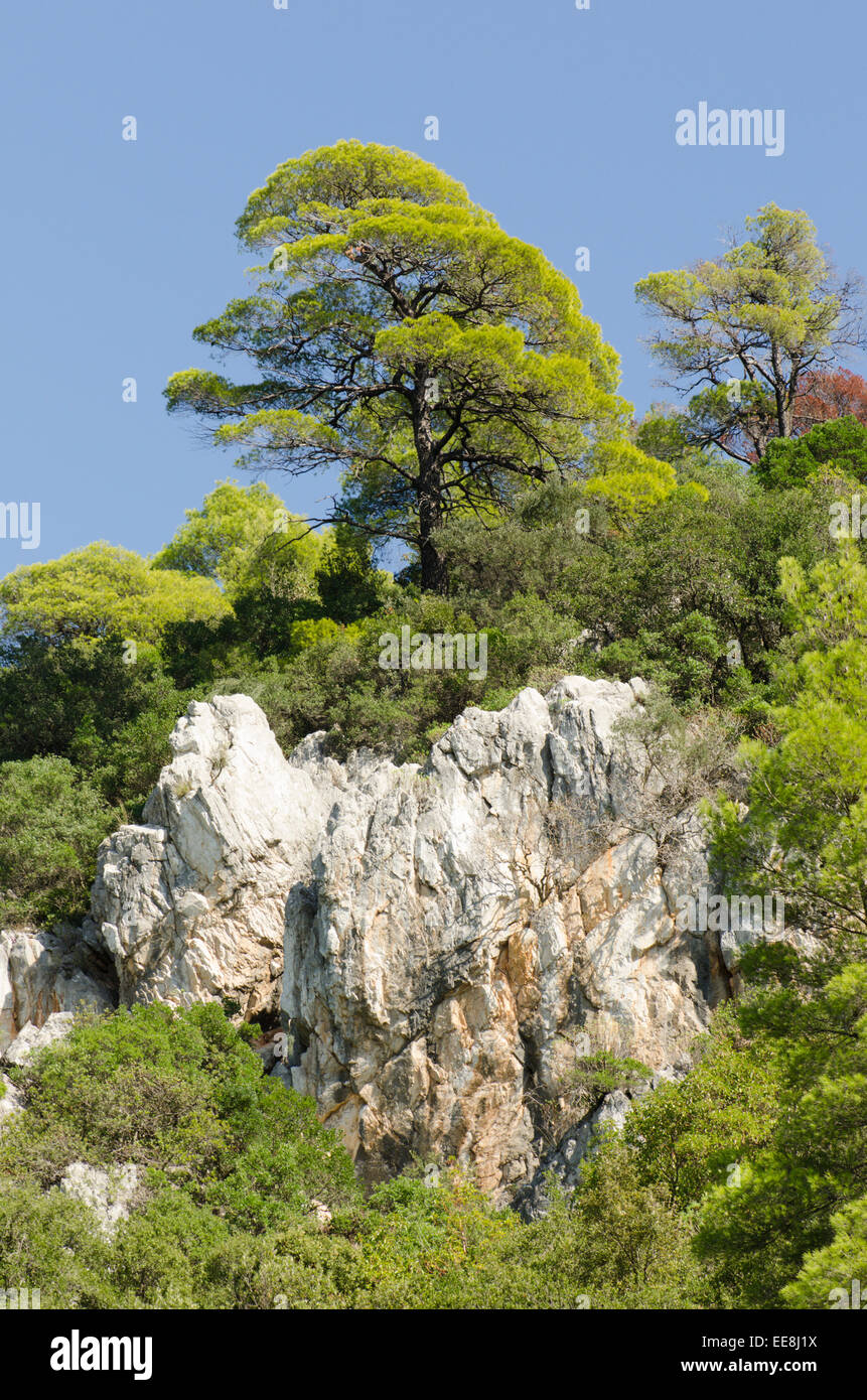 Aleppo pine [Pinus halepensis] Skopelos Greek island. October - Stock Image