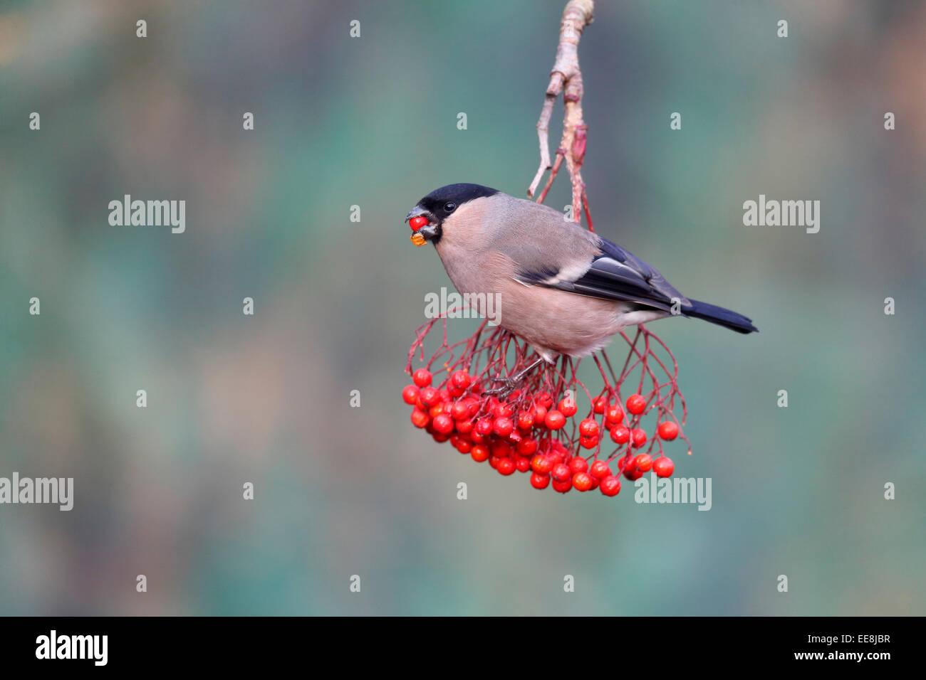 Bullfinch, Pyrrhula pyrrhula, single female on red berries, Warwickshire, January 2015 Stock Photo