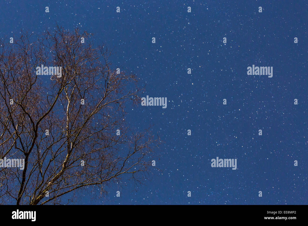A silver birch is pictured against the starry night sky - Stock Image