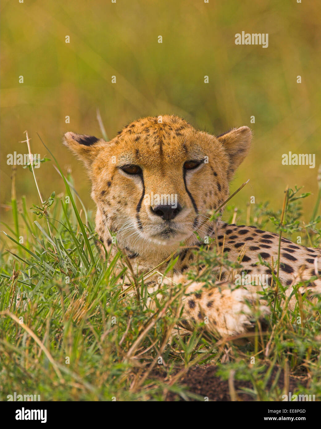 Cheeta - Stock Image