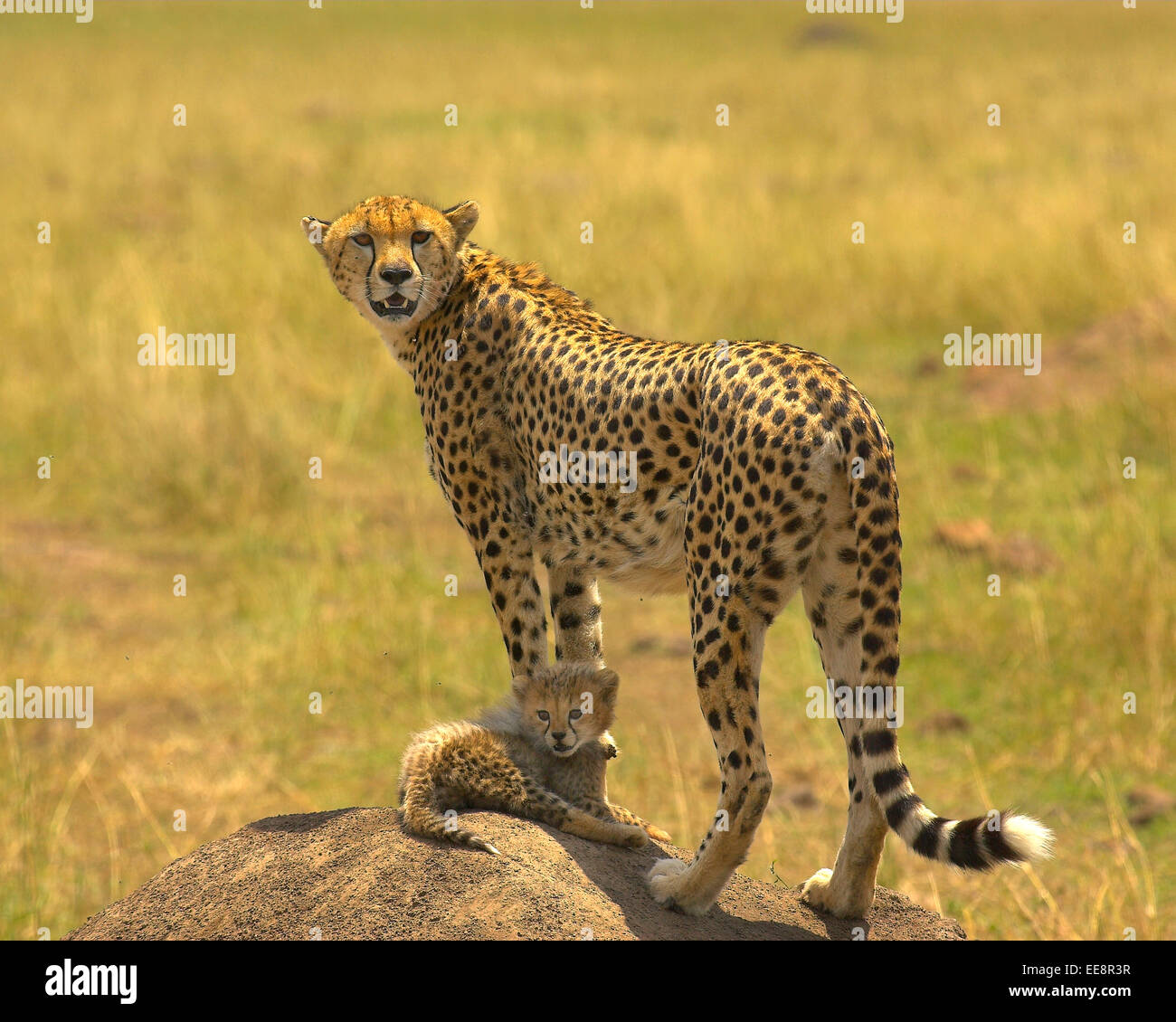 Cheeta and Toto cub - Stock Image
