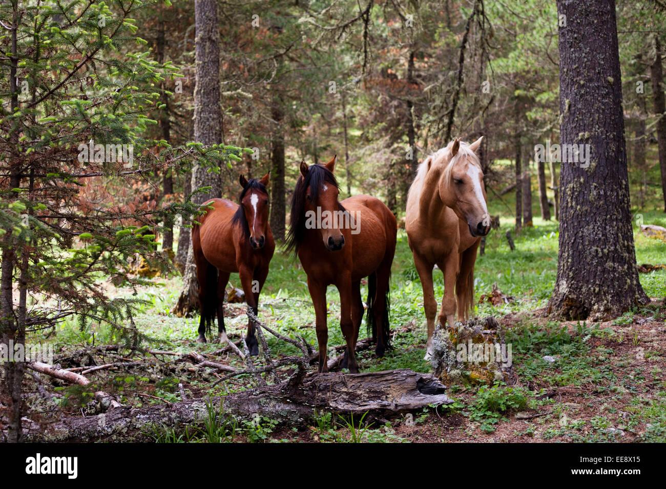 Wild Chestnut Horse Stock Photos & Wild Chestnut Horse ... - photo#38