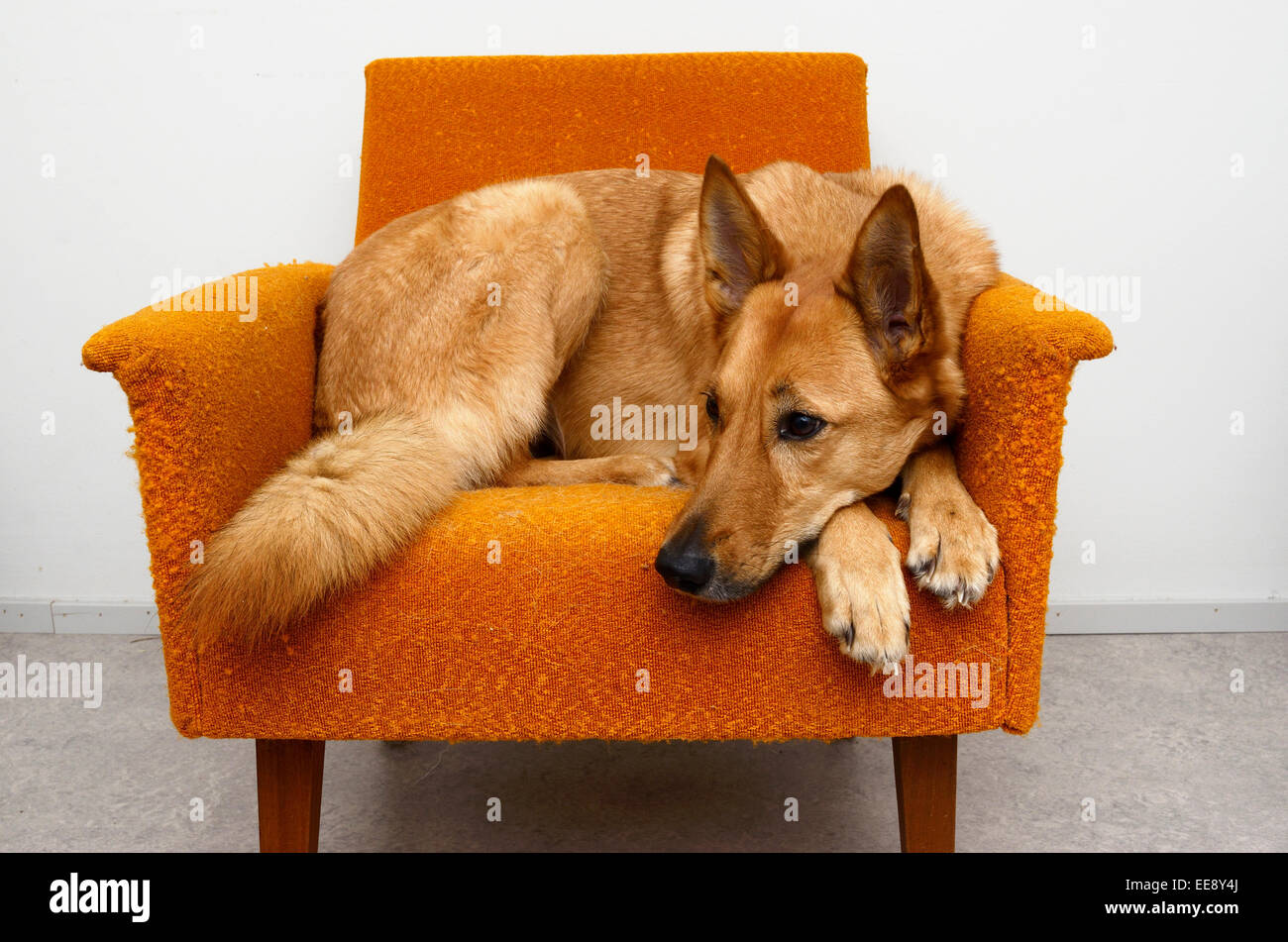 brown mongrel dog lying in the orange chair - Stock Image