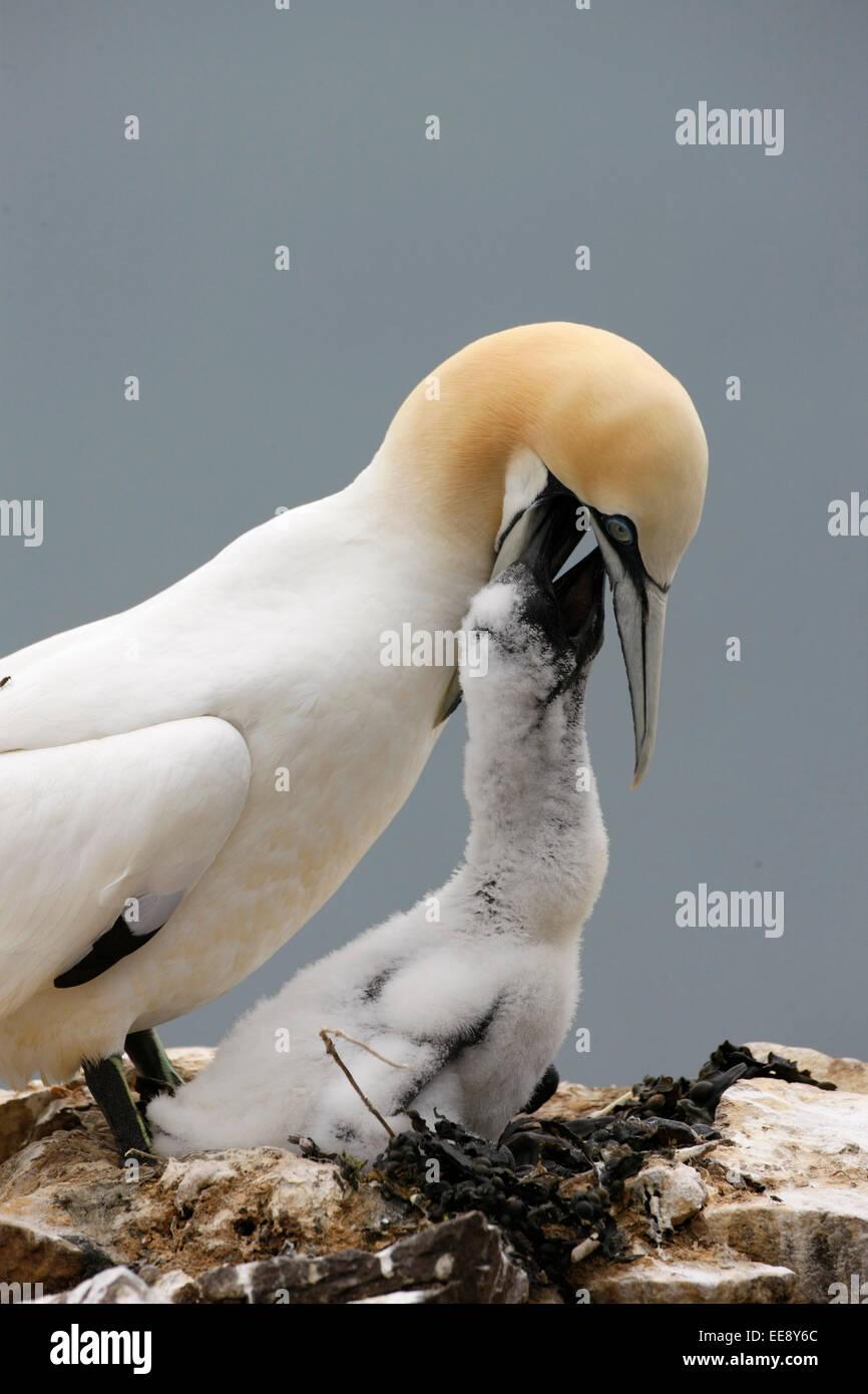 Gannet feeding a chick - Stock Image