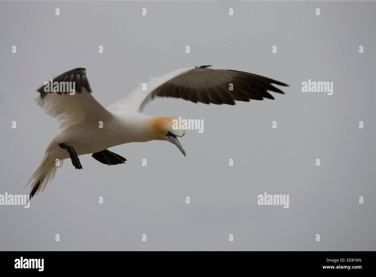 Gannet Flying - Stock Image