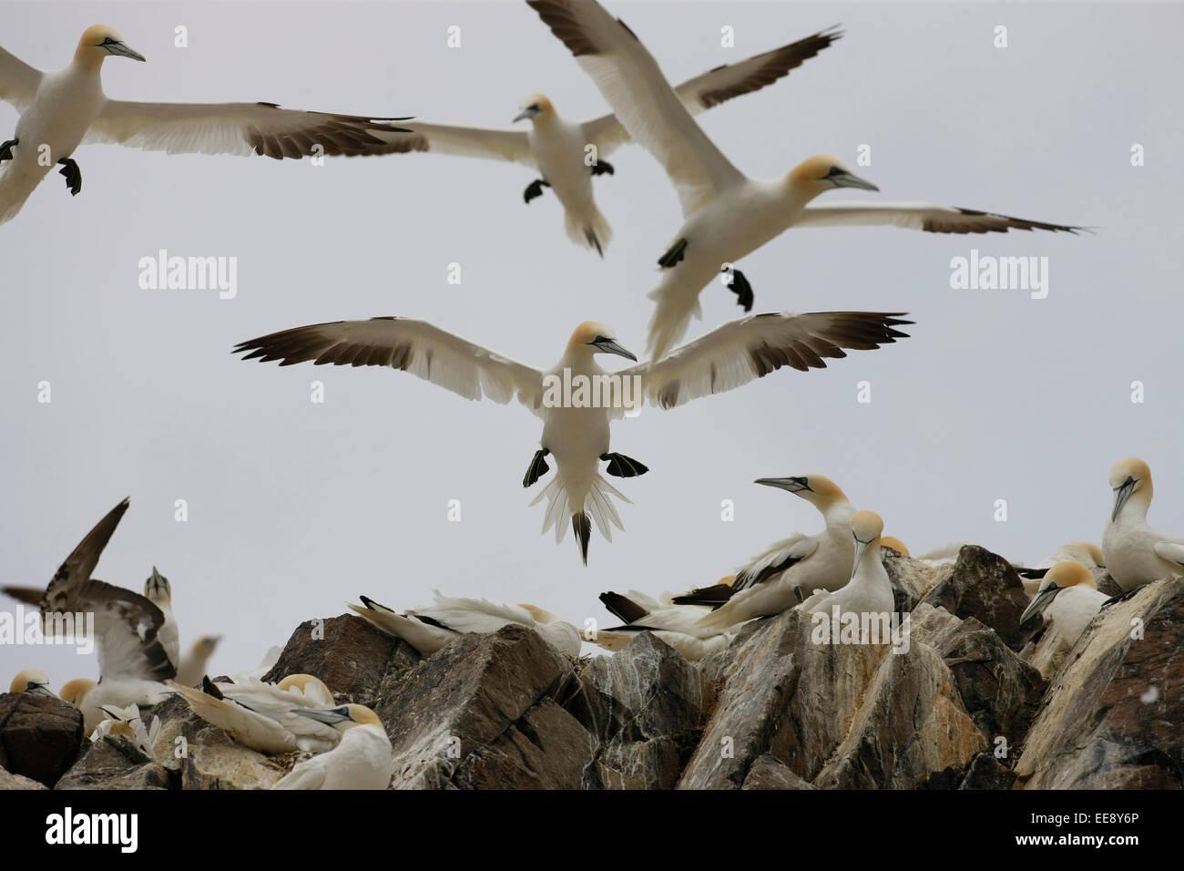 Gannets flying - Stock Image