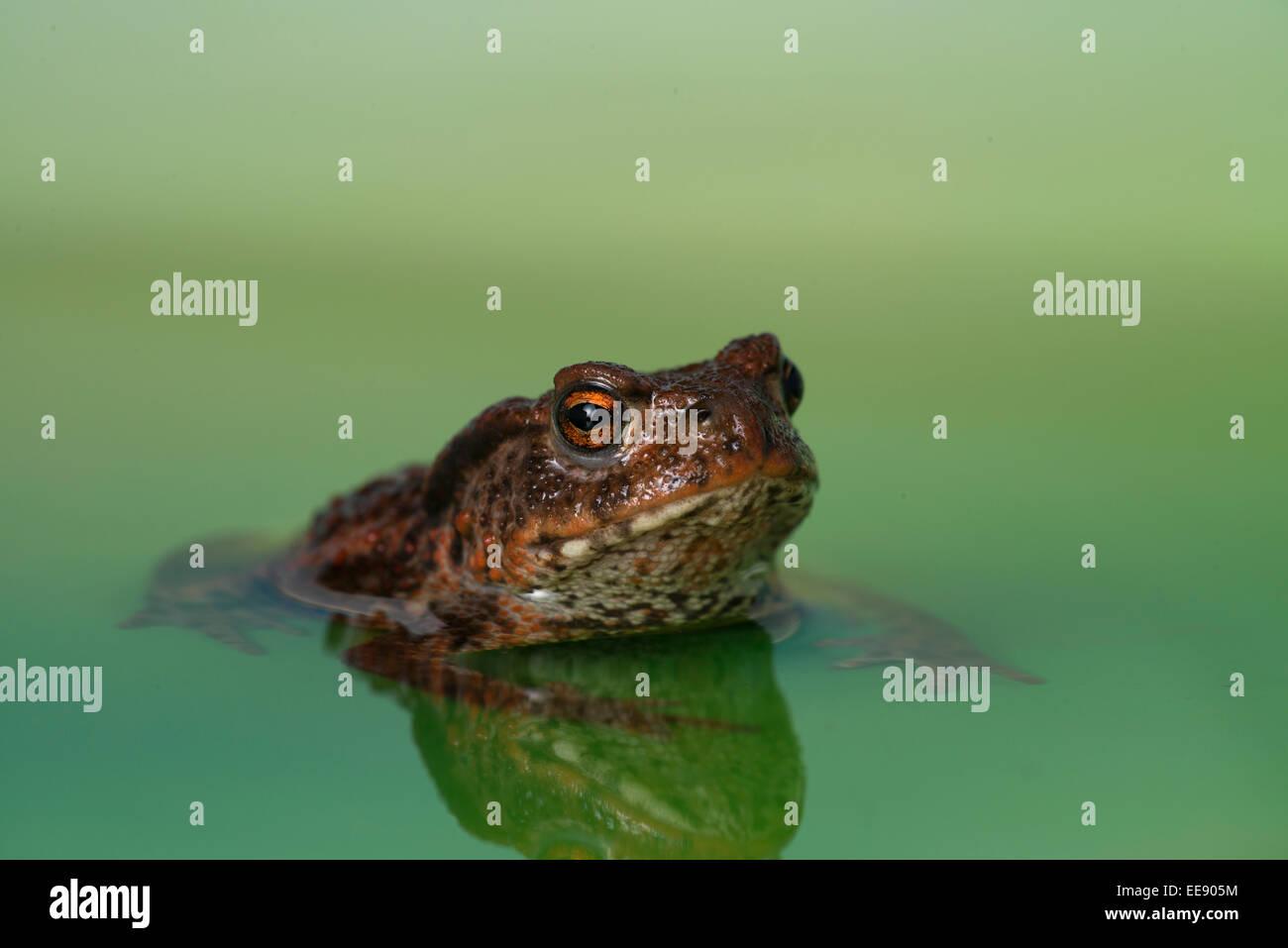 common european toad [Bufo bufo] Stock Photo
