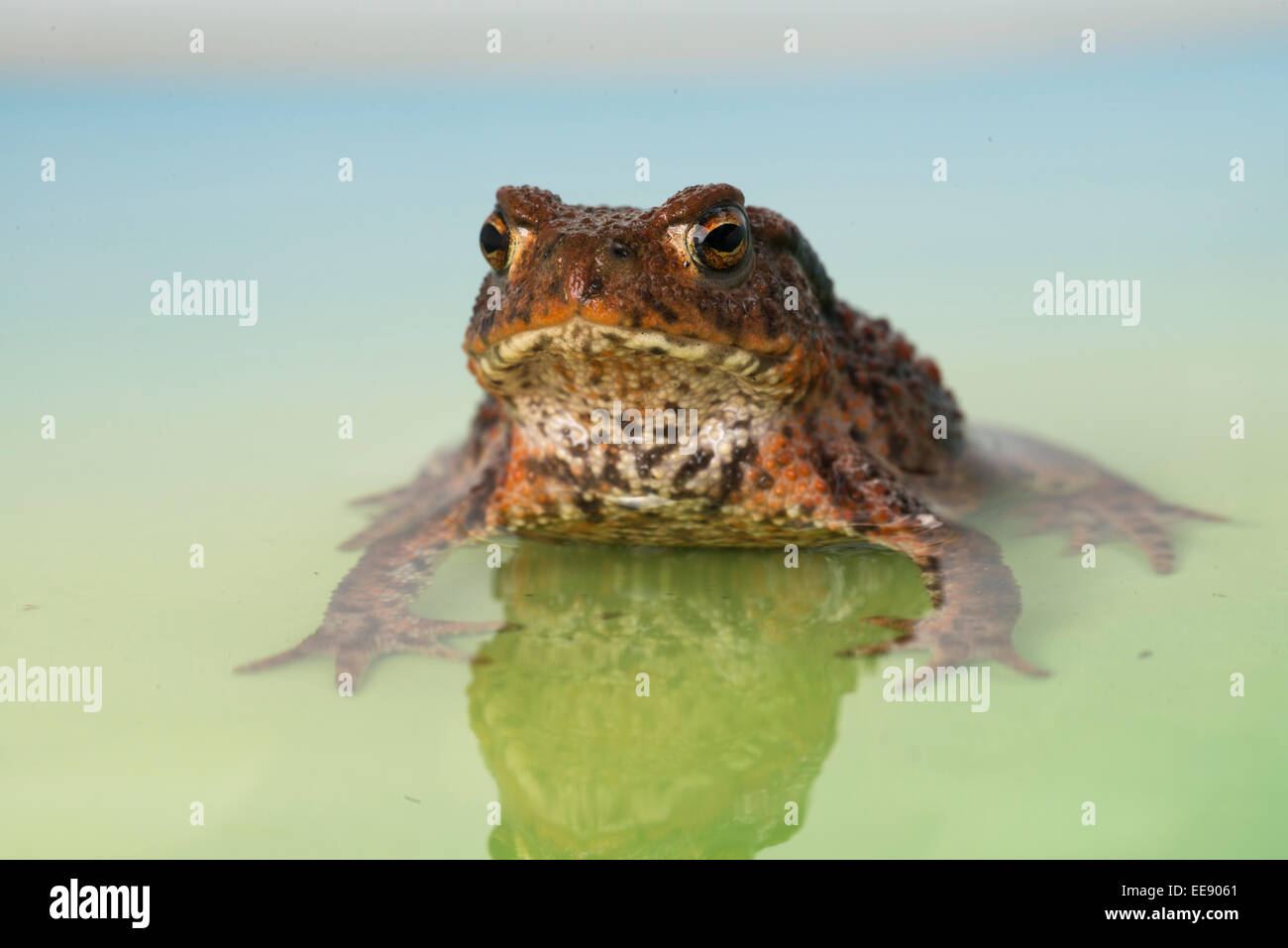 common european toad [Bufo bufo] Stock Photo
