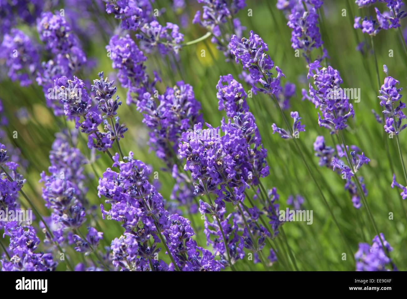 Aroma, Blume, Blumen, Blumengarten, Blueten, Duft, Feld, Garten, Gesundheit, Heilkraeuter, Heilpflanze, Homaeopathie, - Stock Image