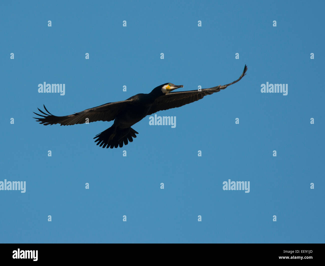 Kormoran (Phalacrocorax carbo), Cormorant - Stock Image