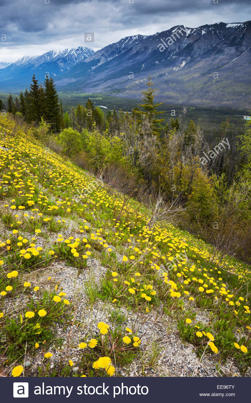 Kootenay Valley Viewpoint with Yellow Dandelions Growing in Foreground, Kootenay National Park, British Columbia, - Stock Image