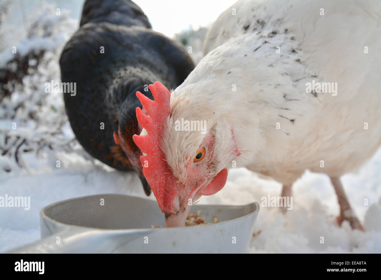 two domestic chickens eating grain in the snow - closeup Stock Photo
