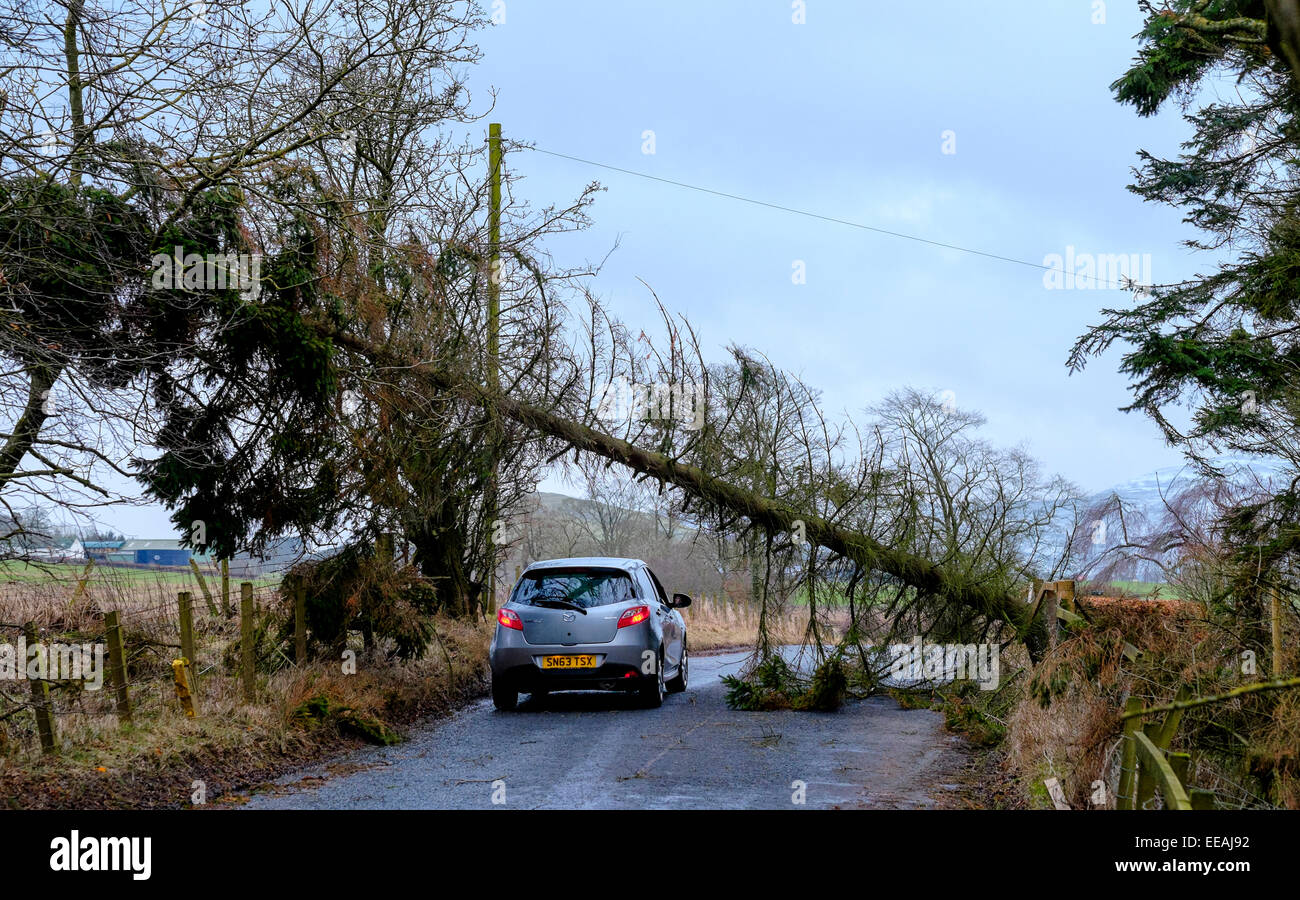 Storm Damage:  A car driver risks driving under a fallen tree on a country road near Biggar in South Lanarkshire, Stock Photo