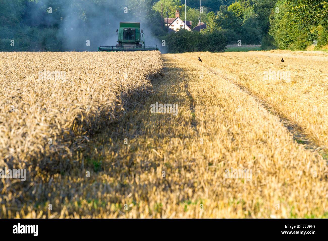Wheat field at harvest time with a combine harvester approaching from the distance, Burton Joyce, Nottinghamshire, - Stock Image