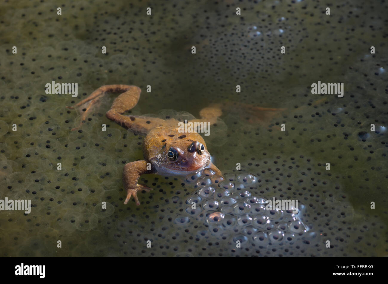 A frog, among frog spawn, in a garden pond. - Stock Image